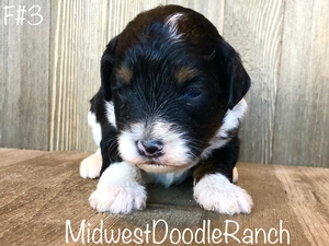 Reserved for Sofia K. from Nebraska Maya's Mini Bernedoodle puppy F#3