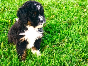 Maya's Mini Bernedoodle Puppy Male #3- RESERVED for Meagan!