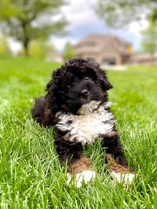 Maya's Mini Bernedoodle Puppy Male #2- RESERVED for Jeffrey