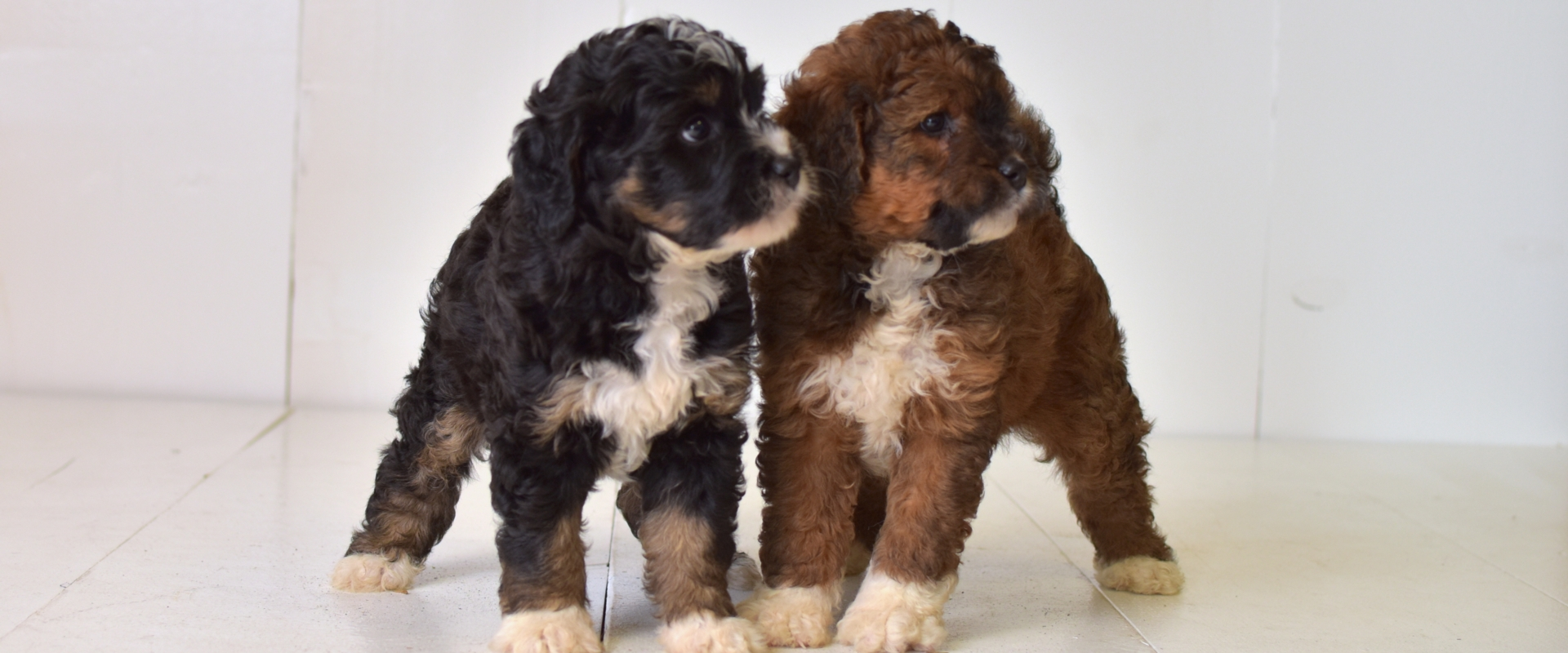 Two Mini Bernedoodles
