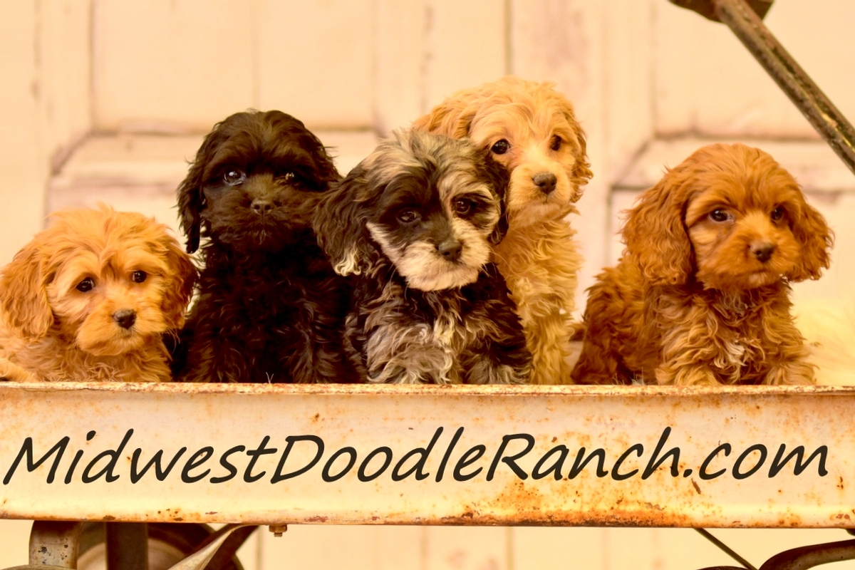 Available Cockapoo Puppies