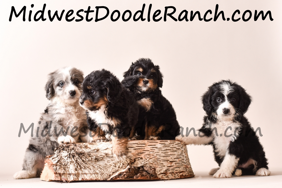 Available Mini Bernedoodle Puppies