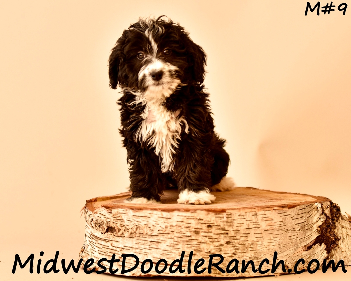 Midwest Doodle Ranch Past Mini Bernedoodle Puppies Photo Gallery