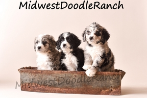 Past Mini Bernedoodle Puppies